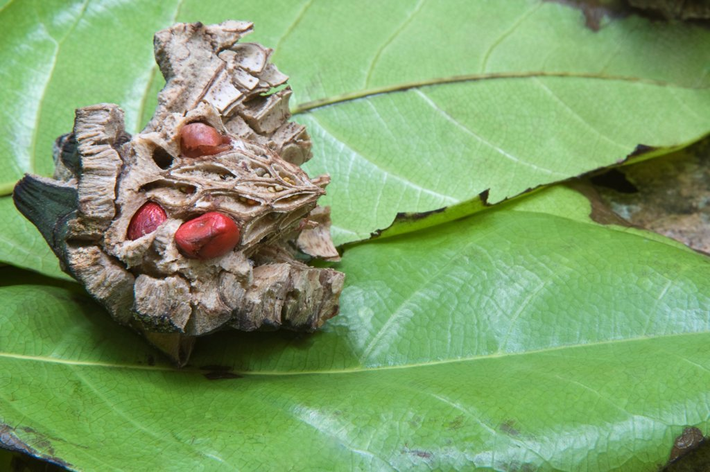 Bwapen Mawon (Talauma dodecapetala) seeds and leaves on forest floor, brought down by Saint Lucia Parrot (Amazona versicolor) feeding, Central Forest, St. Lucia, Windward Islands, Lesser Antilles : Stock Photo