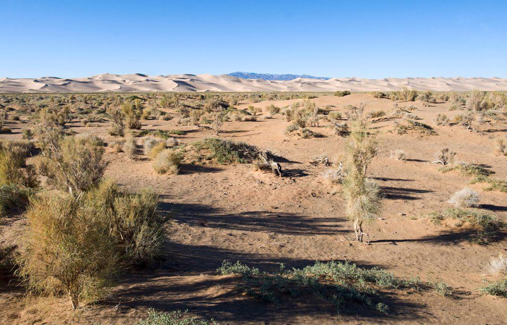 Stock Photo: 4421-31056 Saxaul (Haloxylon sp.) forest, growing in desert habitat, Khongoryn Els Sand Dunes, Southern Gobi Desert, Mongolia, october