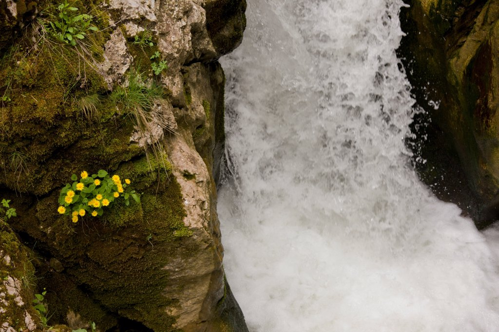 Stock Photo: 4421-31200 Leopard's Bane (Doronicum columnae) flowering, growing on rocks beside waterfall, River Trigrad, Trigrad Gorge, Rhodopi Mountains, Bulgaria, may