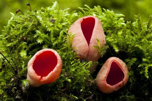 Stock Photo: 4421-31541 Scarlet Elf Cup (Sarcoscypha austriaca) fruiting bodies, growing from moss covered dead wood, Sevenoaks Wildlife Reserve, Kent, England, february