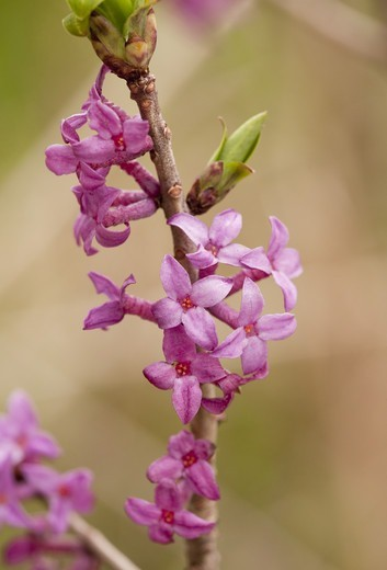 Stock Photo: 4421-31717 Mezereon (Daphne mezereum) close-up of flowers, Caucasus, Georgia, spring