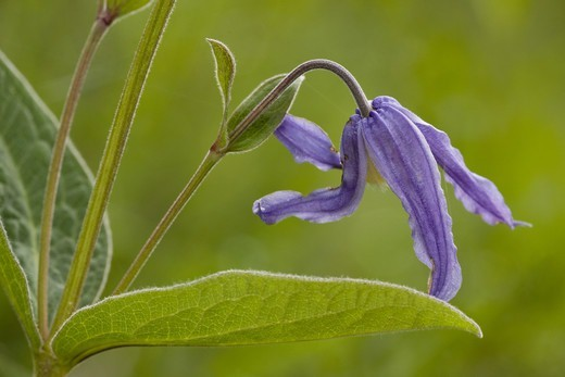 Solitary Clematis (Clematis integrifolia) close-up of flower, Romania : Stock Photo