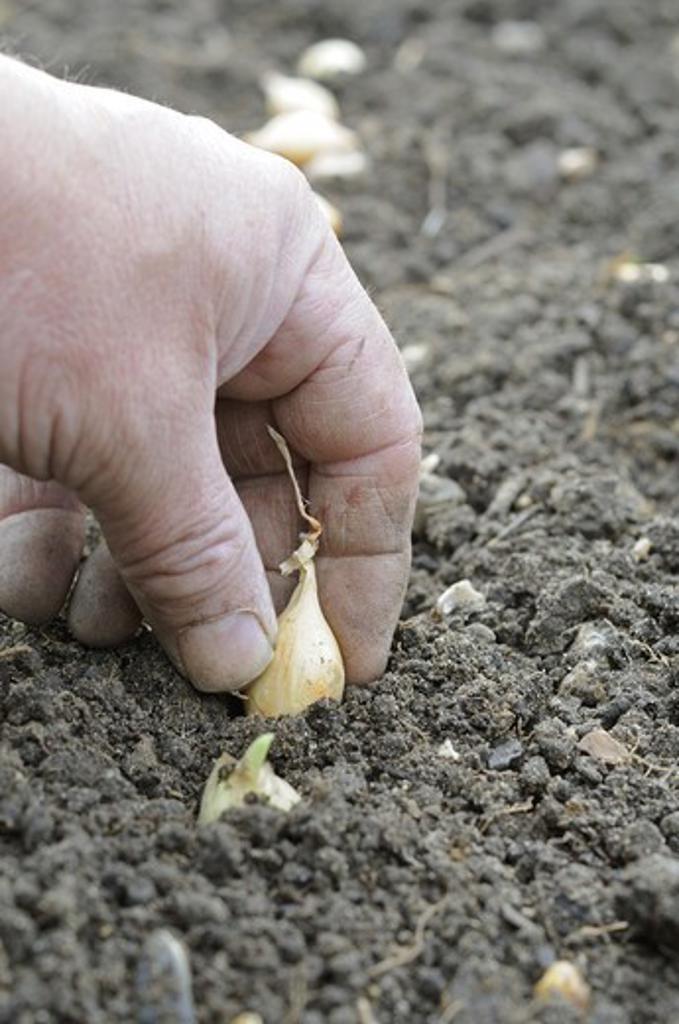 Stock Photo: 4421-32006 Onion (Allium cepa) 'Radar', gardener planting autumn sown sets, Norfolk, England, october