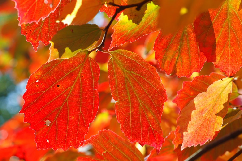 Large Fothergilla (Fothergilla major) close-up of leaves in autumn colour, Cyril Hart Arboretum, Forest of Dean, Gloucestershire, England, september : Stock Photo