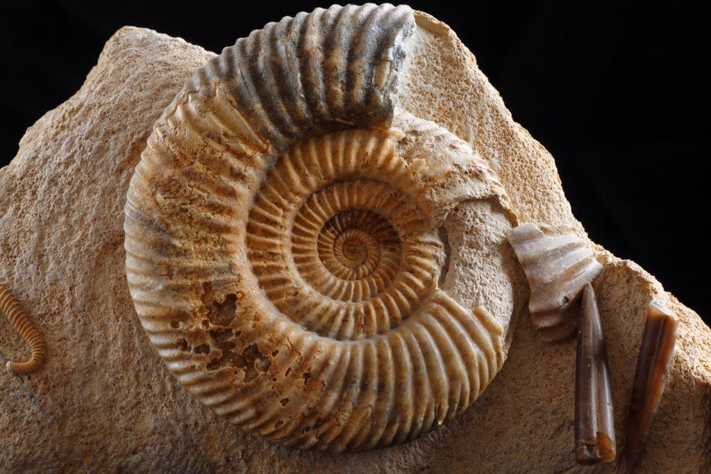 Fossil Ammonite (Parkinsonia dorsetensis) from Freshwater Bay, Dorset, England : Stock Photo