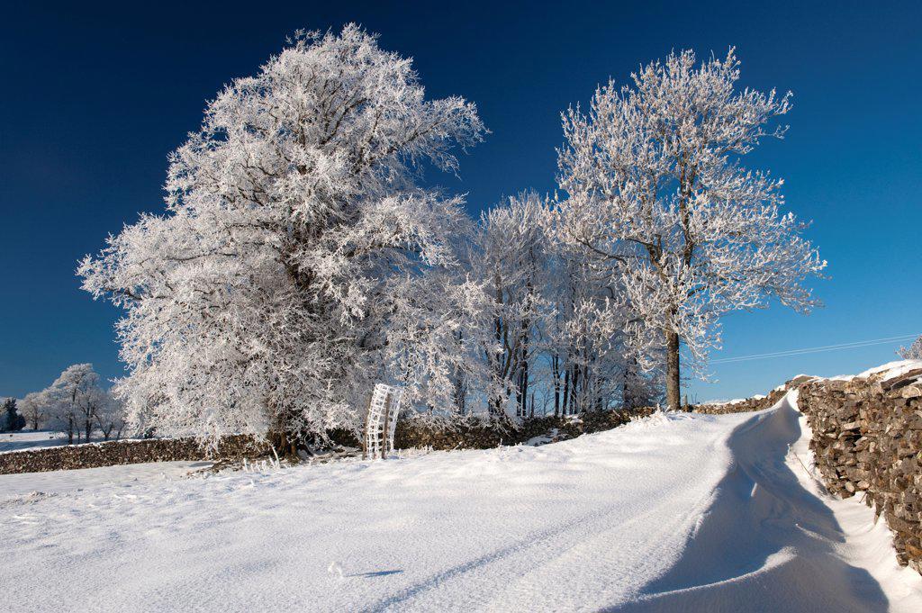 Hoar frost on trees, in field beside drystone wall, near Ravenstonedale, Cumbria, England, december : Stock Photo