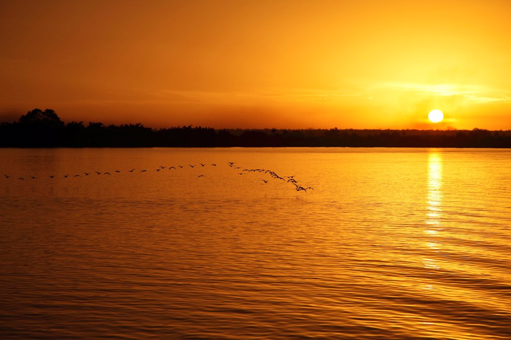 Sunset over river habitat, with flock of egrets silhouetted in flight, Gambia River, Gambia, january : Stock Photo