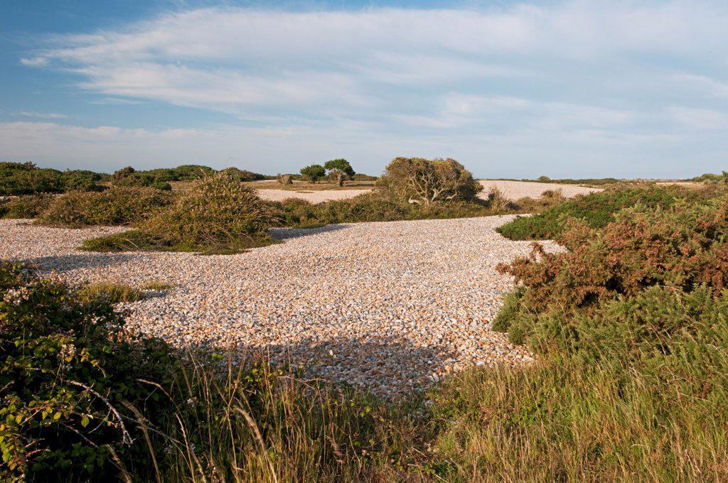 Stock Photo: 4421-33590 View of vegetated shingle headland habitat, Dungeness RSPB Reserve, Kent, England