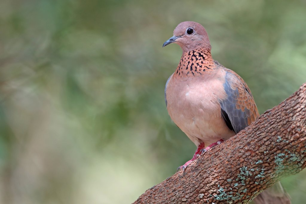 Laughing Dove (Streptopelia senegalensis) adult, perched on branch, Gambia, january : Stock Photo