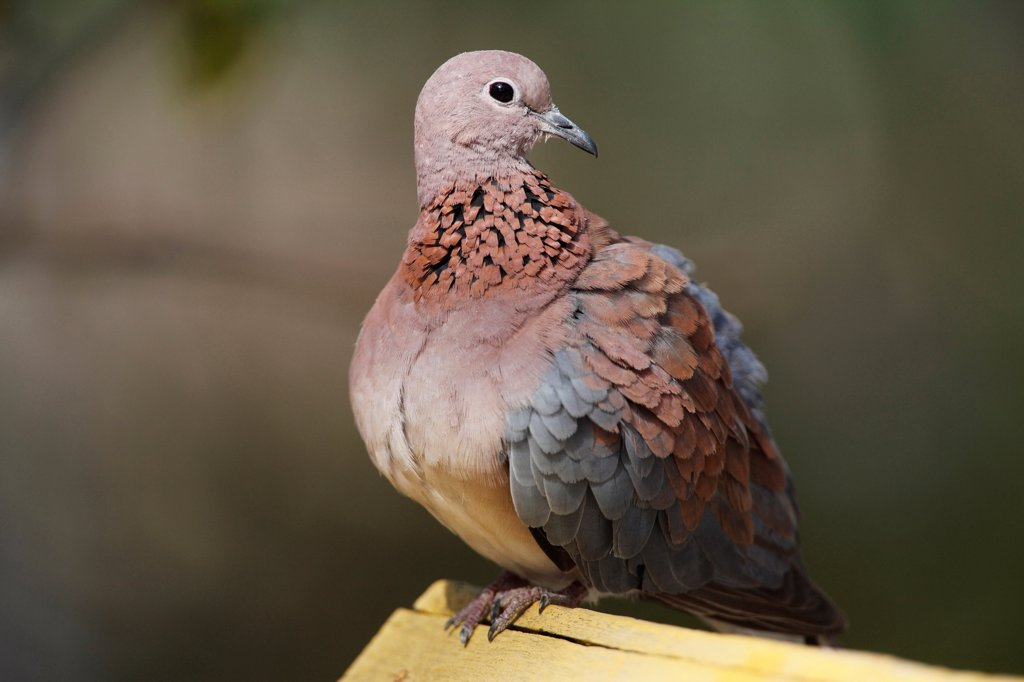 Stock Photo: 4421-3401 Laughing Dove (Streptopelia senegalensis) adult, perched on wood, Gambia, january