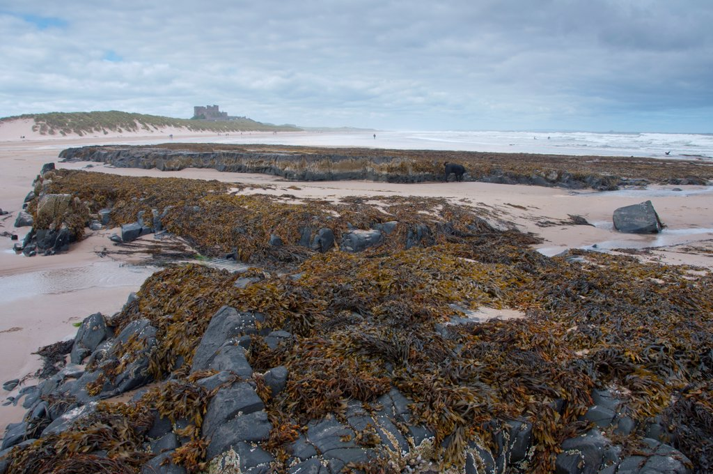 Stock Photo: 4421-34256 Rocks and seaweed on beach, with Bamburgh Castle in distance, Bamburgh, Northumberland, England, july