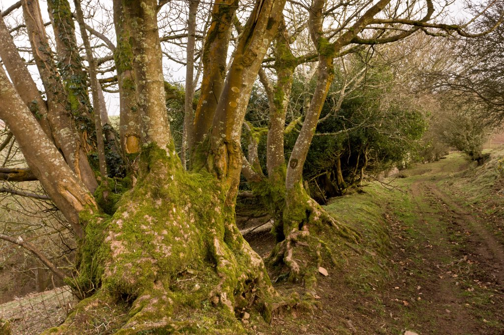 Ancient lane and hedgebank with coppiced trees, above Porlock, Exmoor N.P., Somerset, England, march : Stock Photo