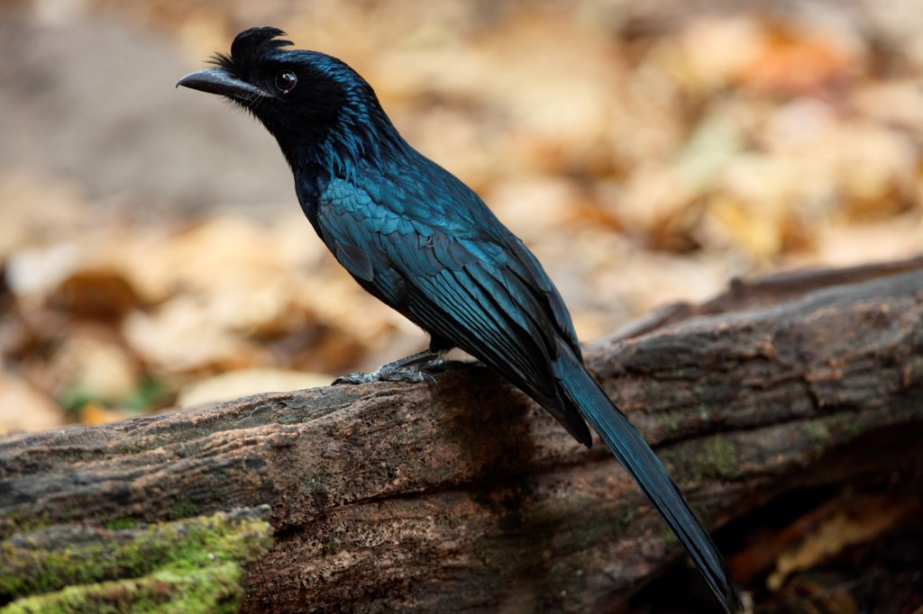 Stock Photo: 4421-3482 Greater Racket-tailed Drongo (Dicrurus paradiseus) adult, perched on rotting log, Kaeng Krachan N.P., Thailand, february