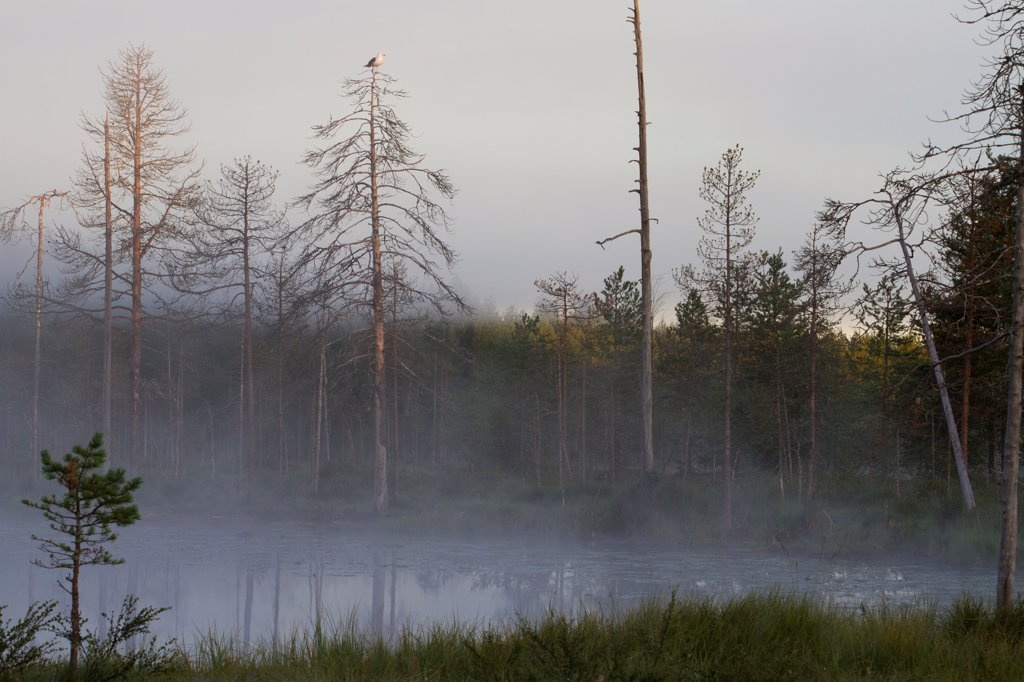 Stock Photo: 4421-35262 View of mist covered lake and coniferous forest habitat at dusk, with Herring Gull (Larus argentatus) adult, standing in tree, Finland, july