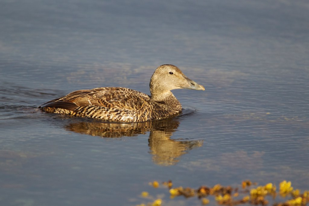 Stock Photo: 4421-3544 Common Eider (Somateria mollissima) adult female, swimming, Shetland Islands, Scotland, June