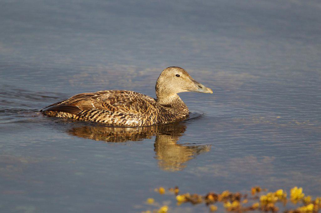 Common Eider (Somateria mollissima) adult female, swimming, Shetland Islands, Scotland, June : Stock Photo