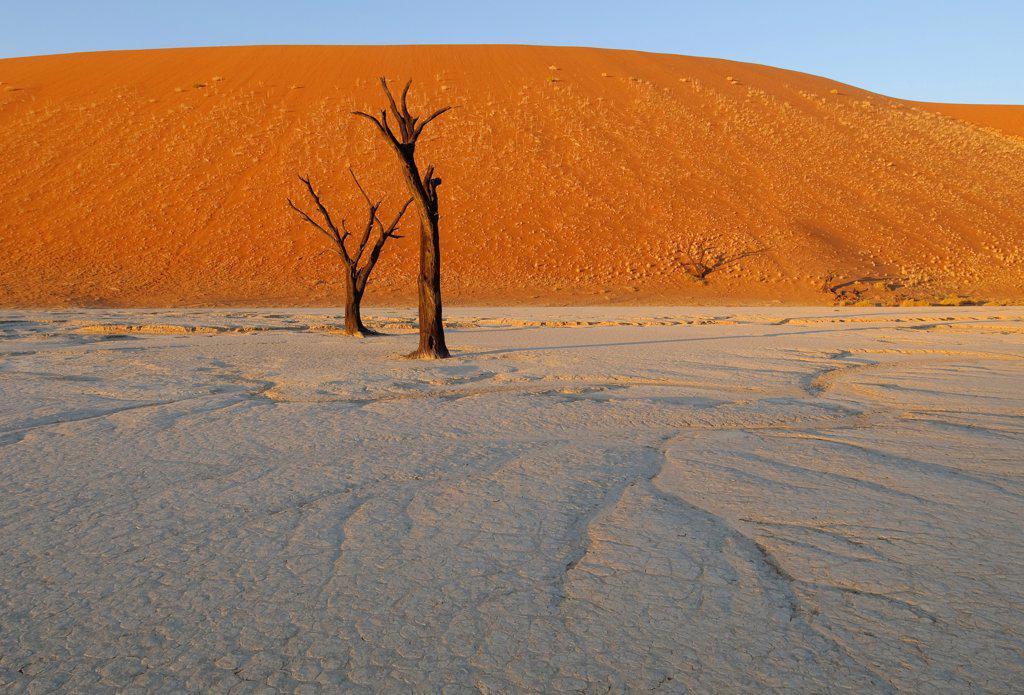 Dead Camelthorn Acacia (Acacia erioloba) trees on dry clay pan, Dead Vlei, Namib Desert, Namib-Naukluft N.P., Namibia : Stock Photo