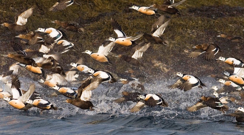 Stock Photo: 4421-3574 Steller's Eider (Polysticta stelleri) adult males and females, flock in flight, taking off from sea, Varanger Fjord, Northern Norway, march