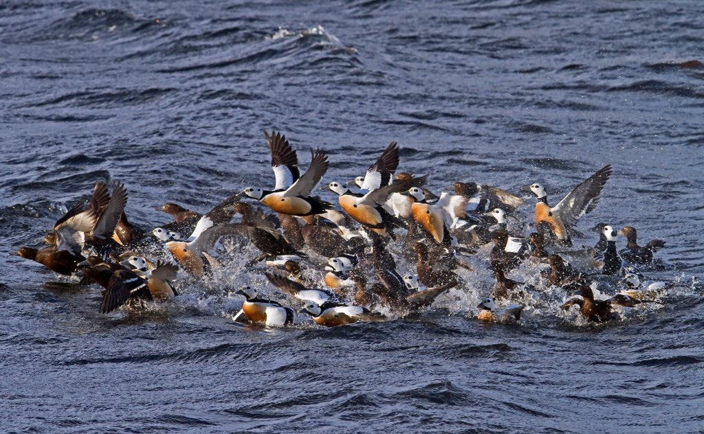 Stock Photo: 4421-3581 Steller's Eider (Polysticta stelleri) adult males and females, wintering flock, taking off from water, Varanger, Northern Norway, march