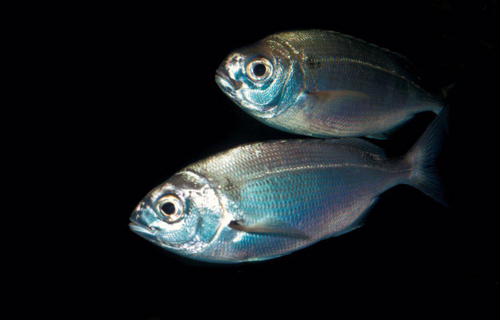 Stock Photo: 4421-35852 Pagellus centrodontus, Common sea bream
