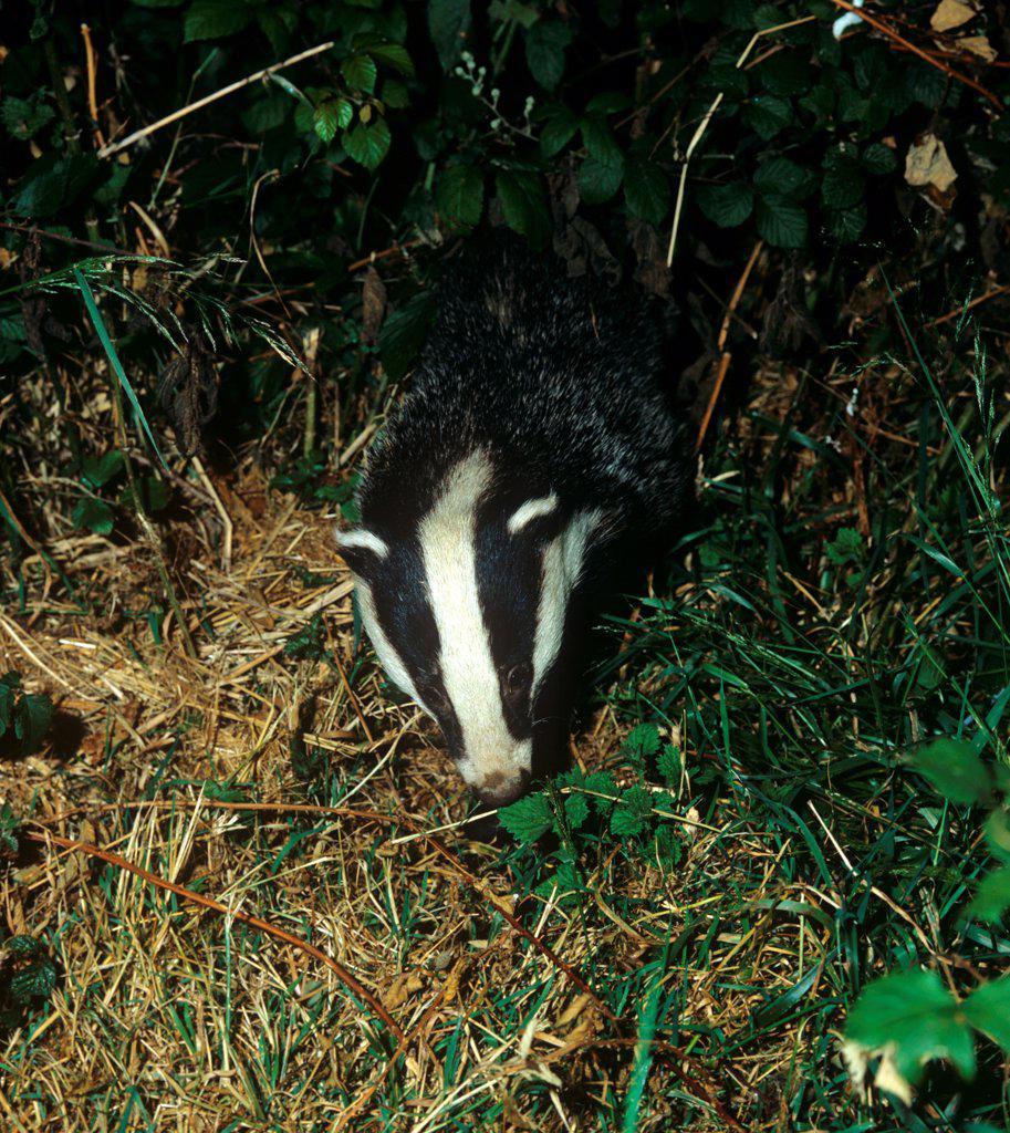 Eurasian Badger (Meles meles) adult, foraging at night, Devon, England : Stock Photo