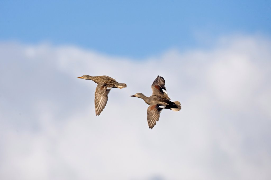 Stock Photo: 4421-3594 Gadwall (Anas strepera) adult pair, in nuptial flight, Norfolk, England, may