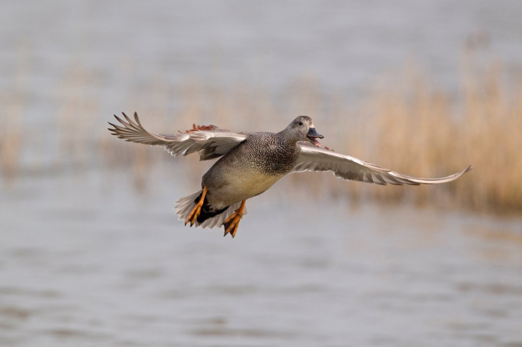 Stock Photo: 4421-3598 Gadwall (Anas strepera) adult male, calling in flight over water, Minsmere RSPB Reserve, Suffolk, England, april