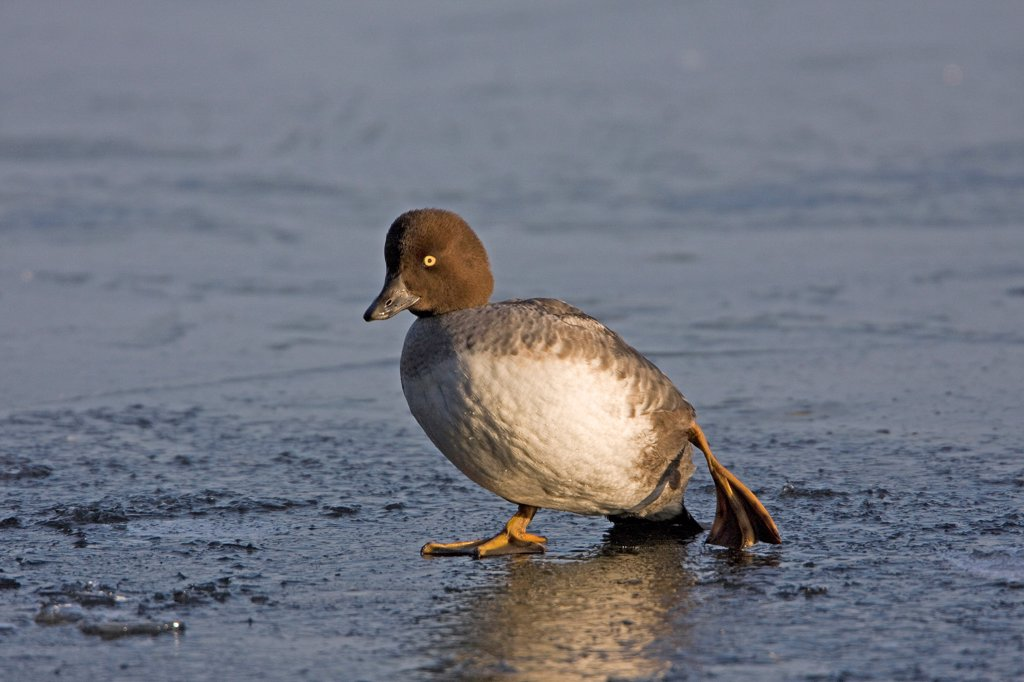 Common Goldeneye (Bucephala clangula) adult female, walking on ice, England, january : Stock Photo