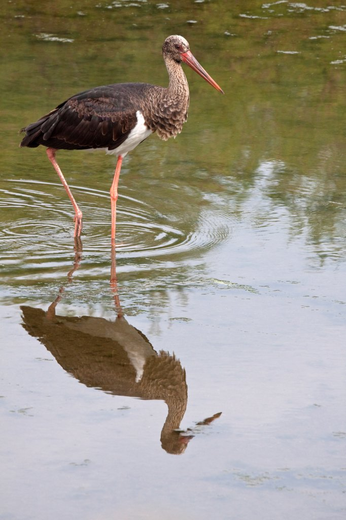 Stock Photo: 4421-36660 Black Stork - Lesvos Greece