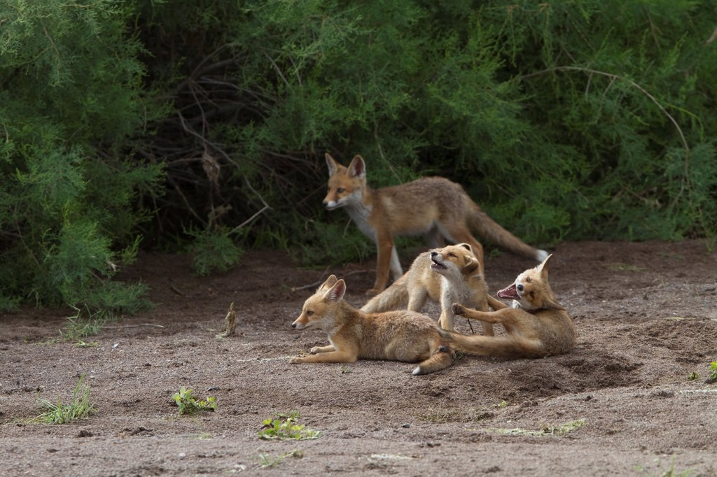 Stock Photo: 4421-36697 European Red Fox (Vulpes vulpes) four young cubs, interacting