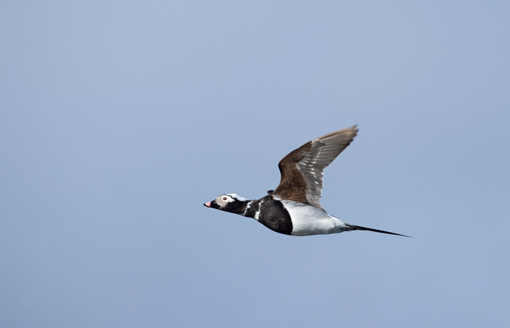 Stock Photo: 4421-3670 Long-tailed Duck (Clangula hyemalis) adult male, moulting, in flight, Shetland Islands, Scotland, april