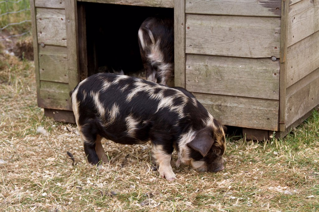Kune kune piglet : Stock Photo