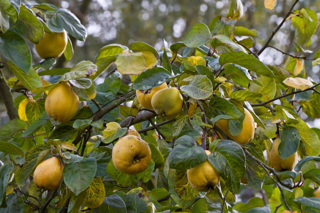 Quince (Cydonia oblonga) fruit, has lumpy yellow skin and hard flesh that is quite bitter so shouldn't be eaten raw. When fully ripe, the quince has a wonderful perfume. : Stock Photo