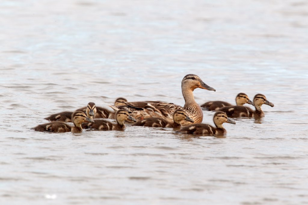 Mallard Duck (Anas platyrhynchos) adult female with ducklings, swimming, Norfolk, England, july : Stock Photo