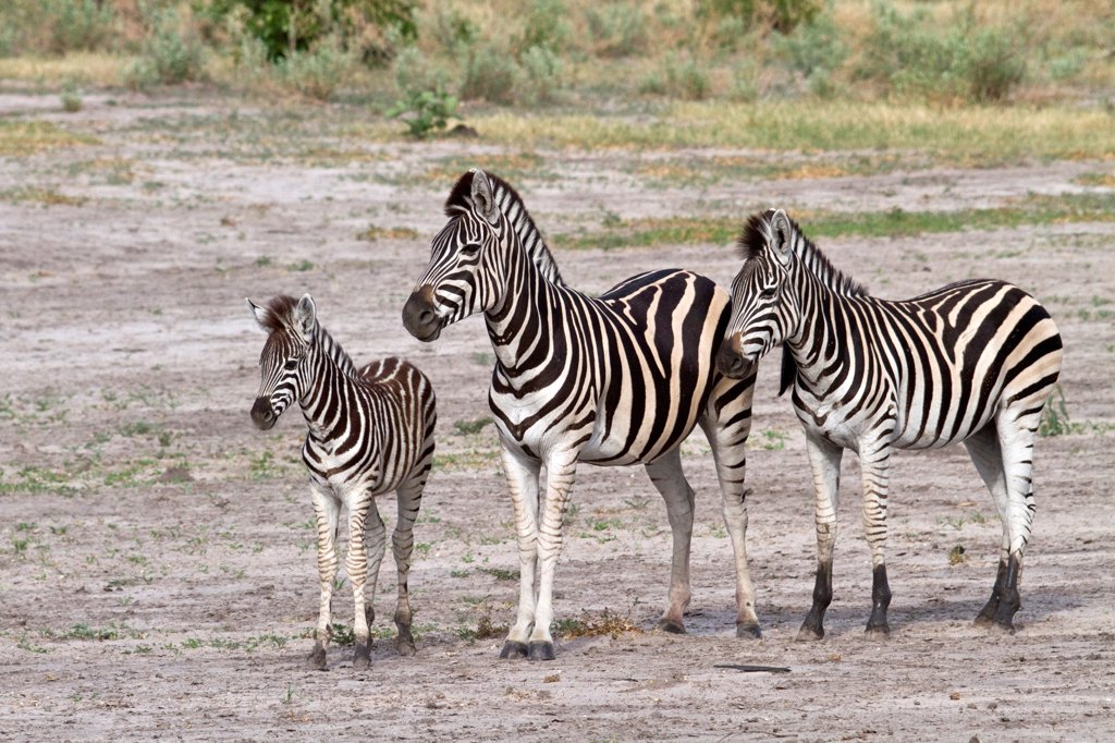 Stock Photo: 4421-37566 Burchell's Zebra, female with foal and a youngster from last year