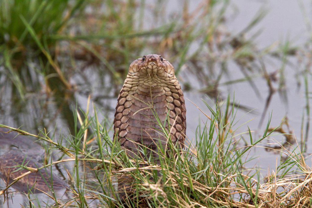 Stock Photo: 4421-37593 Mozambique Spitting Cobra in The Okavango Delta - Botswana