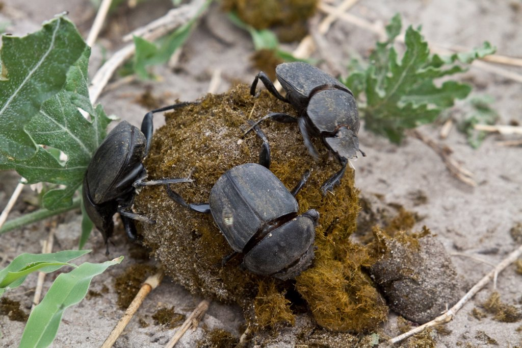 Dung beetles on dung making a ball to roll away and bury with their egg inside : Stock Photo