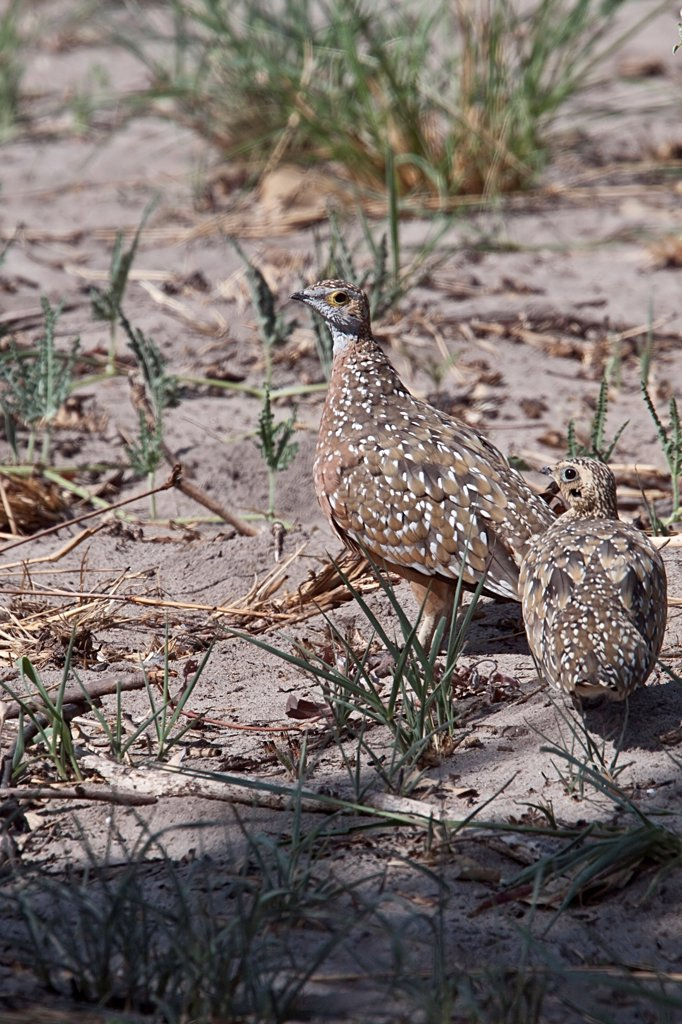 burchell's sandgrouse male & female : Stock Photo