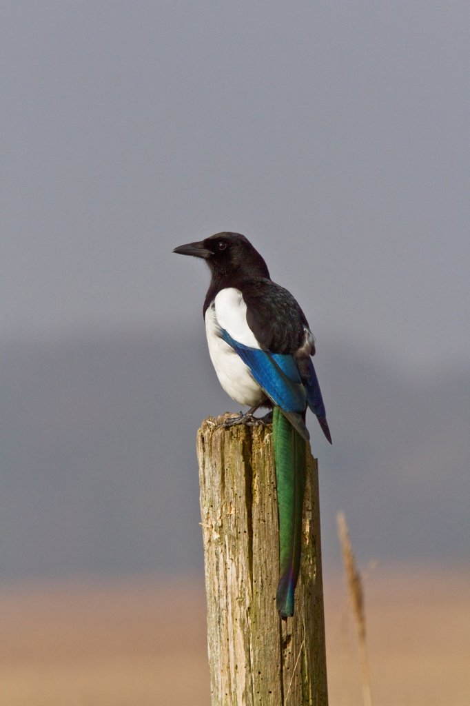 Common Magpie on post at RSPB Minsmere reserve Suffolk : Stock Photo