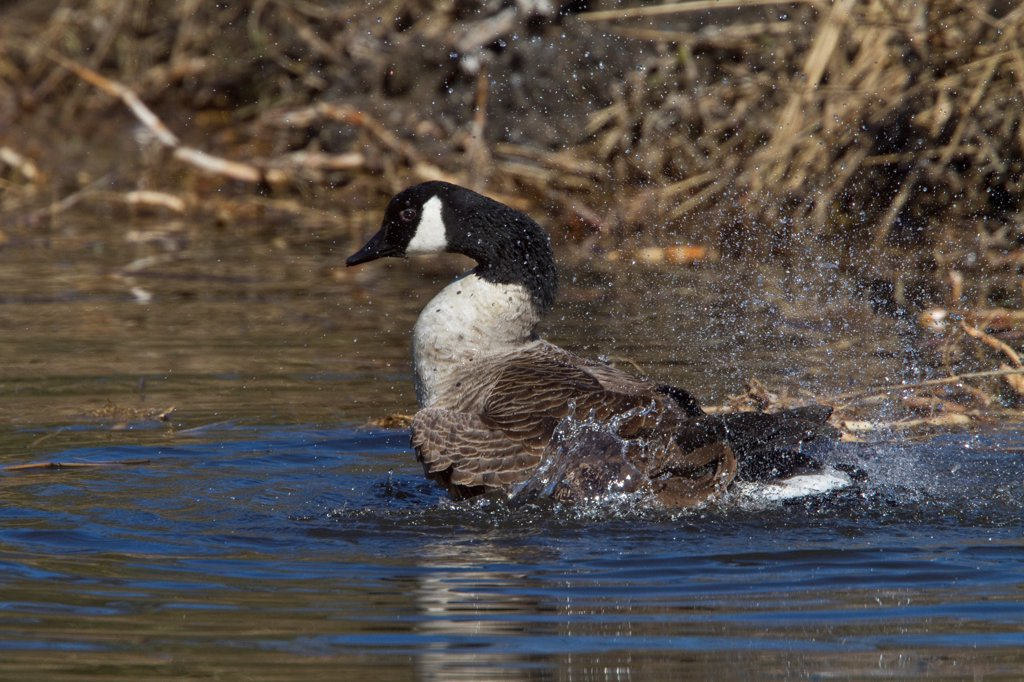 Canada Goose splash bathing : Stock Photo