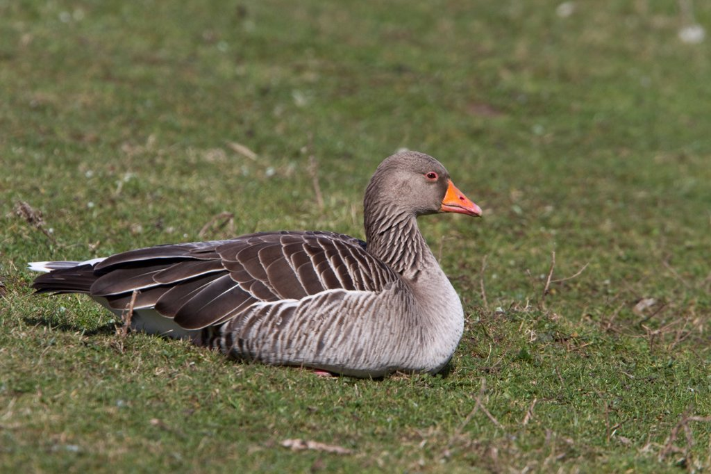 Stock Photo: 4421-37684 Resting Greylag Goose at Lackford Lakes Nature Reserve Suffolk
