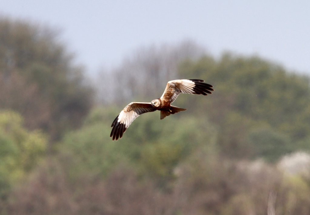 Stock Photo: 4421-37724 Marsh Harrier