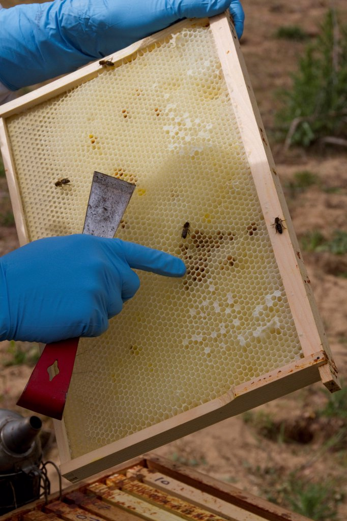 Stock Photo: 4421-37790 Examining the new comb from the brood box for possible problems such as parasites.