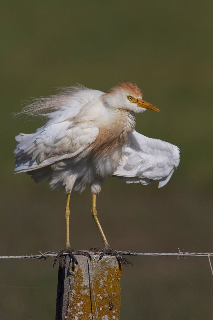 Cattle Egret in summer plumage standing on fence post : Stock Photo