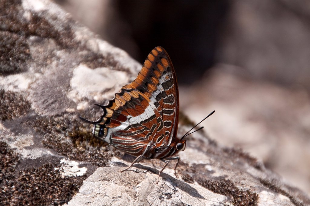 Two tailed pasha Butterfly, claraxes jasius, Extremadura, Spain. : Stock Photo