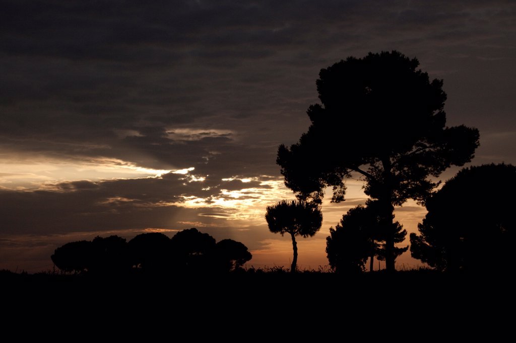 Stone pines at sunset, Coto Donana, Spain. : Stock Photo