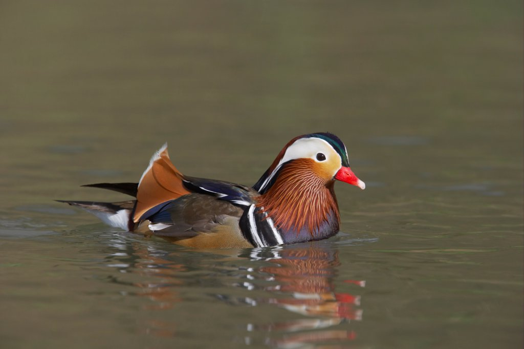 Stock Photo: 4421-3805 Mandarin Duck (Aix galericulata) adult male, swimming, Arundel W.W.T. (captive)