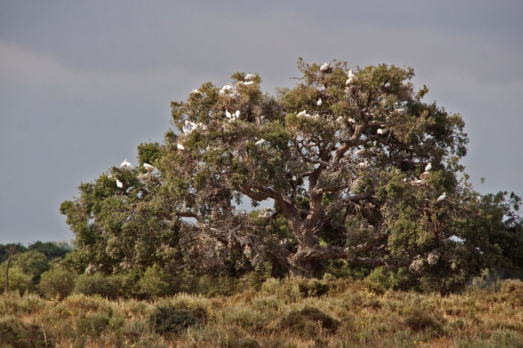 400 year old oaks where there is a colony of 1,000 pairs of Spoonbills. In time these trees will die from the dropping and damage done by the nesting birds : Stock Photo
