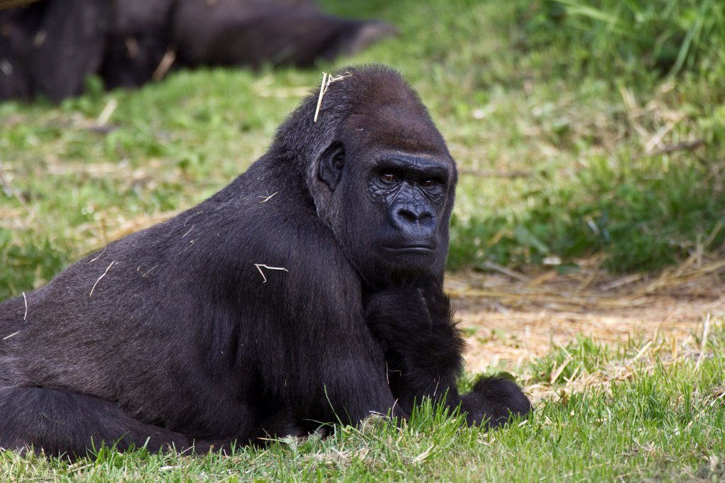 Stock Photo: 4421-38150 Gorilla at the Durrell Wildlife conservation trust, Jersey