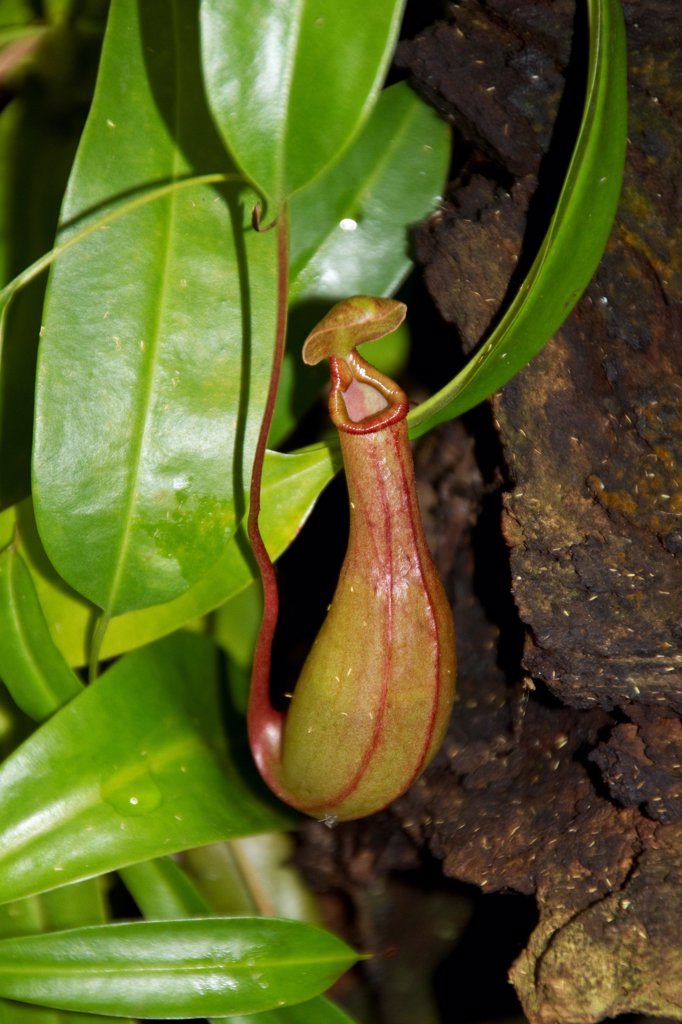 Stock Photo: 4421-38172 Nepenthes petiolata  is a highland Nepenthes pitcher plant species endemic to Mindanao island in the Philippines, where it grows at an elevation of 1450#1900 m above sea level.